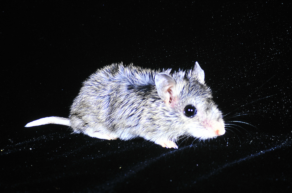 Acarnivorous mouse from the Colorado<br />