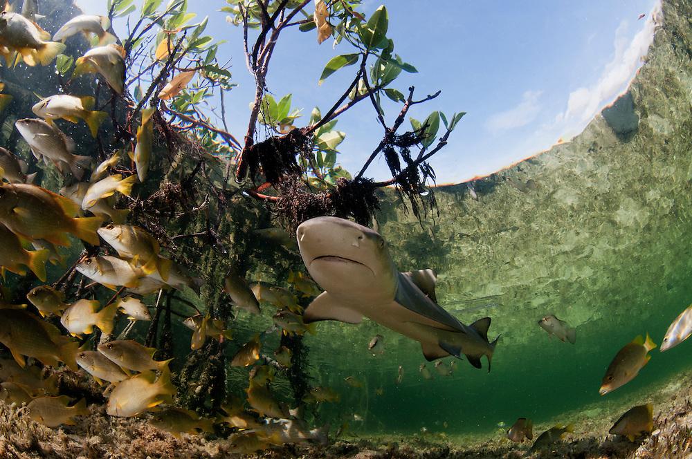 Baby lemon shark in mangrove forest of Eleuthera, Bahamas.