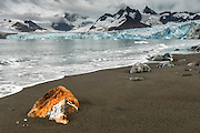 A unique rock on the shore in front of the Ross Glacier and rugged mountains, Royal Bay, South Georgia