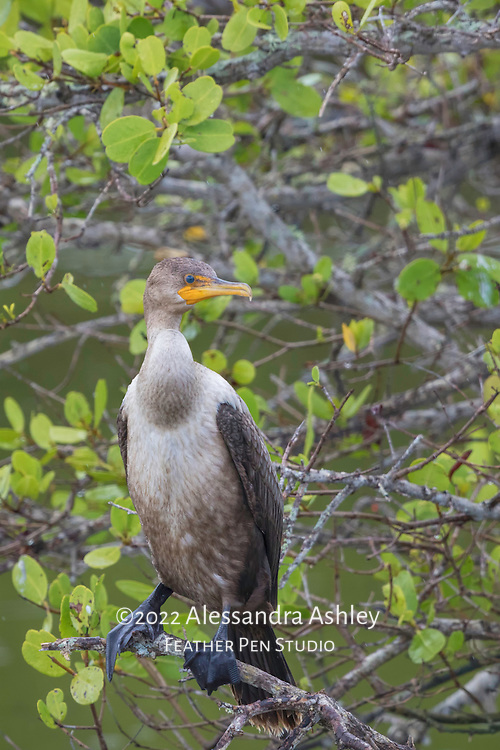 Young double-crested cormorant perched in mangrove at Merritt Island NWR on Florida's Atlantic coast.