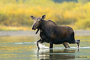 A cow moose (Alces alces) high steps her way out of a lake, Glacier National Park