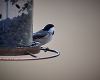 Black-capped Chickadee. Image taken with a Nikon D5 camera and 600 mm f/4 VR lens (ISO 1250, 600 mm, f/4, 1/640 sec)