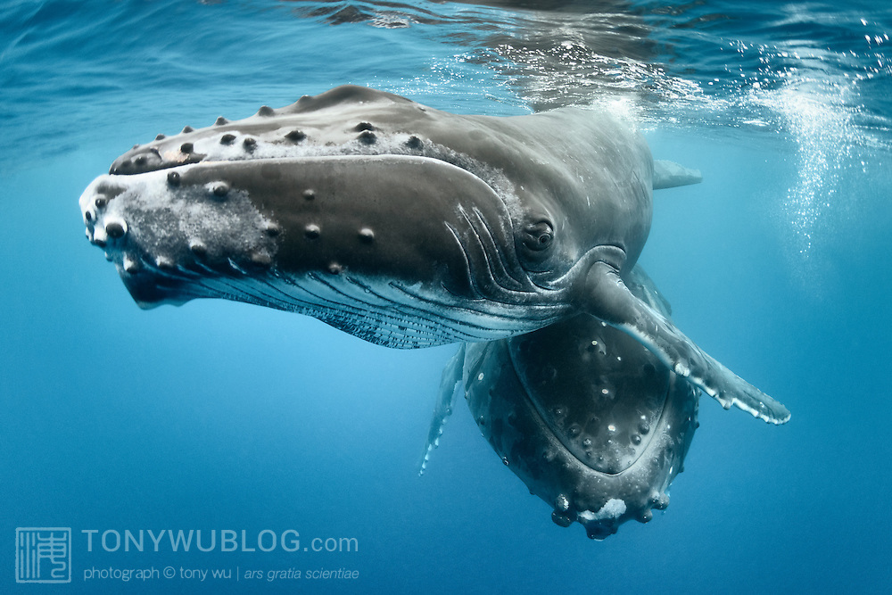 Inquisitive humpback whale male calf (Megaptera novaeangliae) with his resting mother