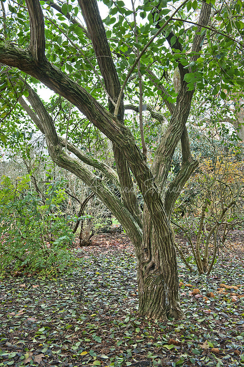 Lonicera maackii (Amur honeysuckle) bark at RBG Kew