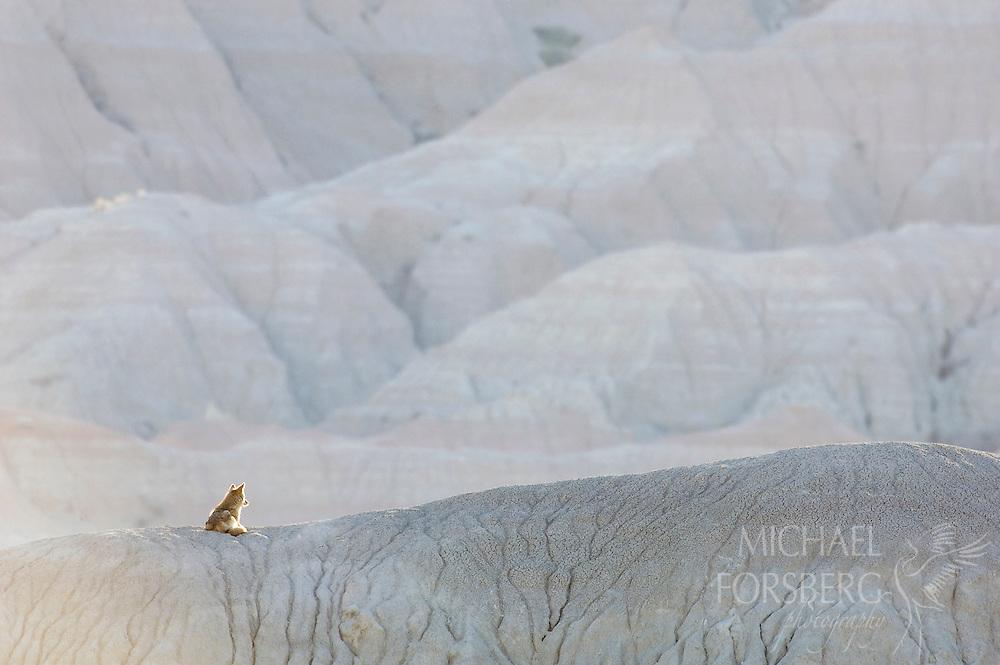 Coyote profile. Badlands, South Dakota