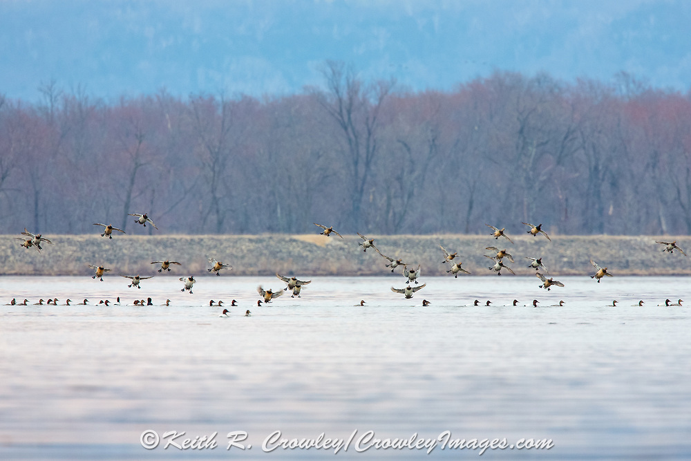 Canvasback ducks in flight