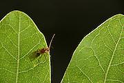 Männliche Schwammgallwespe (Biorhiza pallida) sucht zwischen den Eichenblättern nach einer Galle, aus der noch unbegattete Weibchen schlüpfen. | The Gall wasp (Biorhiza pallida) is very specialised an lives only on oak leafs.