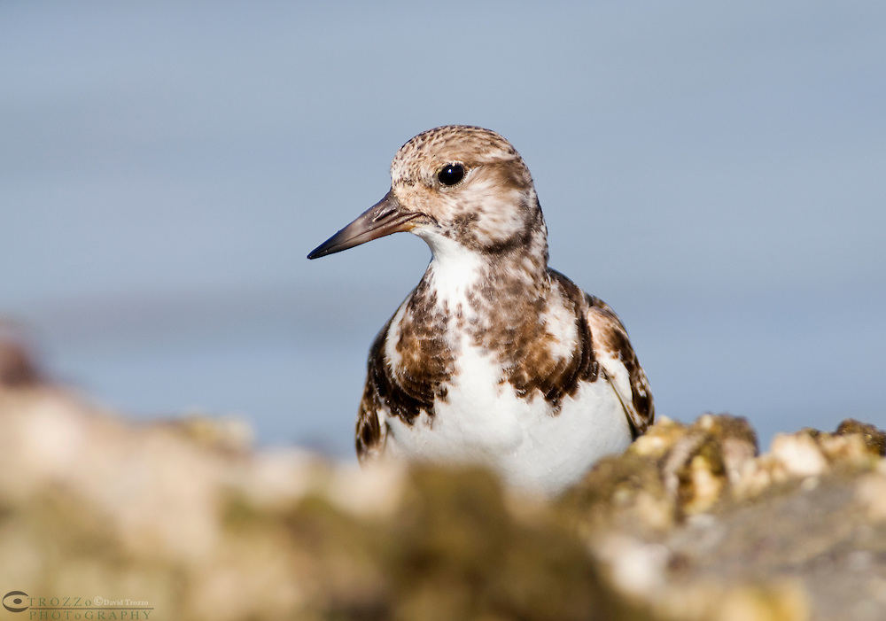 The Ruddy Turnstone (Arenaria interpres) is a small wading, highly migratory bird, and a monogamous  breeder. Breeding in northern parts of Eurasia and North America the turnstone winters on coastlines almost worldwide. Surviving in a wide range of habitats its typical breeding habitat is open tundra with water nearby.