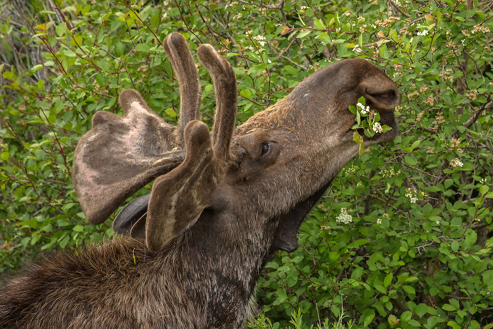 When plants begin to green-up in spring, moose will consume up to 60 pounds of this fresh vegetation daily. Moose prefer flowering shrubs, willow and aquatic plants when these food sources become readily available.