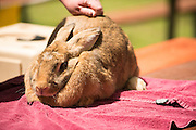 Close up image of giant brown rabbit laying on table.