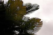 Silhouette of Pinanga Maculata, tiger palm, Hawaii