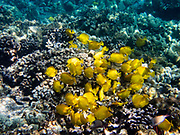 "Yellow tang in Kealakekua Bay. The yellow tang, or Lau'ipala (Zebrasoma flavescens in the surgeonfish family, Acanthuridae). Zebrasoma flavescens is one of the most popular fish species for saltwater aquariums. Hawaii sources up to 70% of the aquarium industry's yellow tangs. ""flavescens"" means yellow in Latin. The yellow tang is commonly found in shallow reefs in the Pacific and Indian Oceans, west of Hawaii and east of Japan. It has also been seen in waters around Florida, where it is not native. We kayaked on a Kona Boys tour to the Captain Cook Monument in Kealakekua Bay State Historical Park starting from Napoopoo Pier, on the Kona Coast of the Big Island, Hawaii, USA. With one of the most pristine coral reefs for snorkeling in the state, Kealakekua Bay is protected as a State Marine Life Conservation District (MLCD)."
