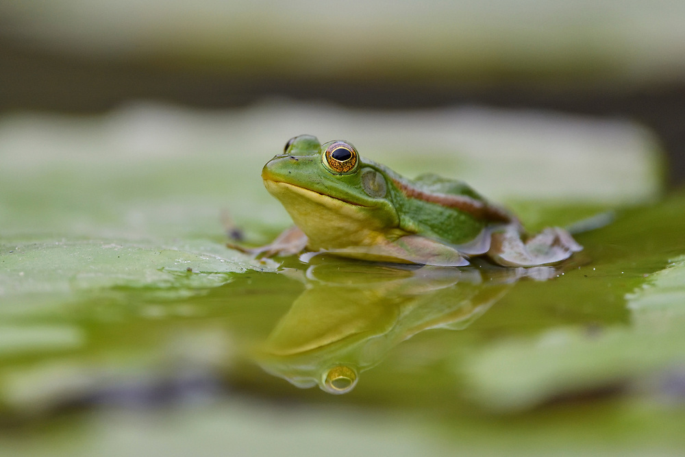 Eastern Golden Frog, Rana Pelophylax plancyi, sitting in the water on a leaf in East Lake Greenway park, Wuhan, Hubei, China
