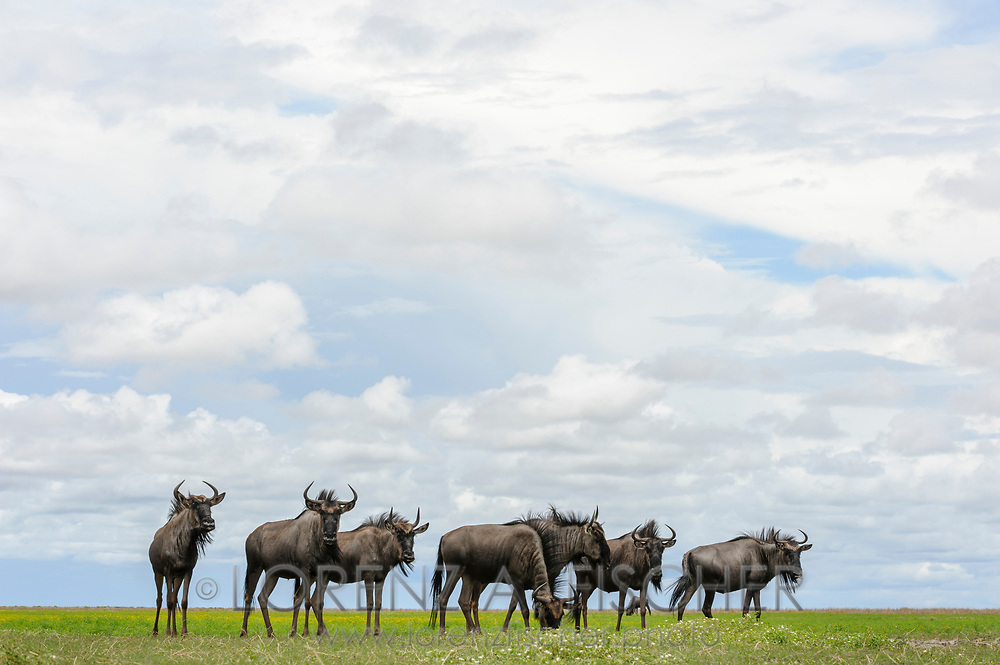 Streifengnus im Liuwa Plain Nationalpark im Westen von Sambia