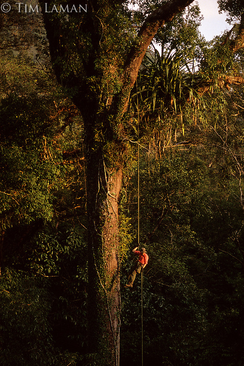 A researcher rappels down a rope after exploring the rain forest canopy of Gunung Palung National Park, Borneo, Indonesia.  The tree is a dipterocarp (Shorea sp.) with many epiphytes including a large Pandanus sp.