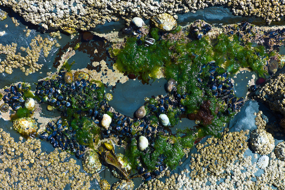 Rockpool with barnacles, mussels, limpets, whelks, seaweed at Kilkee, County Clare, West Coast of Ireland