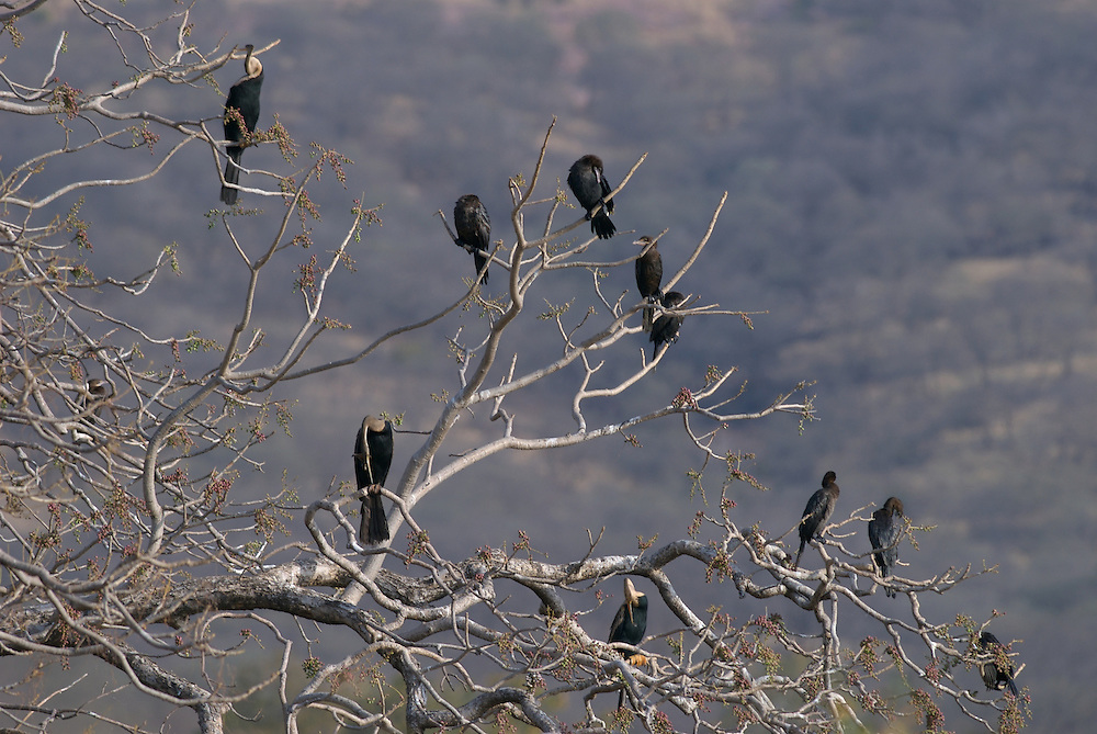 Indian Darters and Indian Cormorants in Tree in India's Ranthambhore National Park