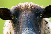 Black-faced sheep, Gloucestershire, United Kingdom