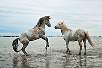 Animals, horses on the beach.<br />