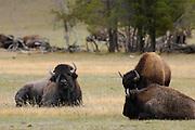 Cow Bison, Bull and Cow, Bull and Cow Bison, Bull Bison, Bison, Buffalo, Yellowstone National Park, Yellowstone, Wyoming
