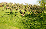 Sunny morning apple trees in orchard in meadow garden, Cherhill, Wiltshire, England, UK