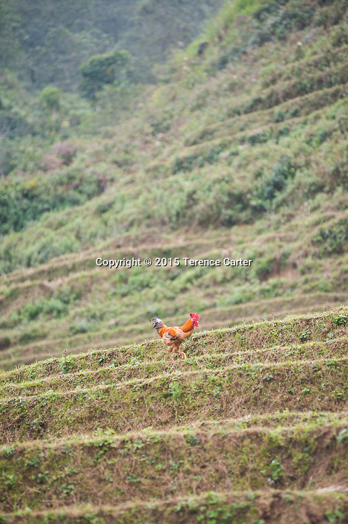 A rooster makes his way across rice terraces above Sapa, Vietnam.