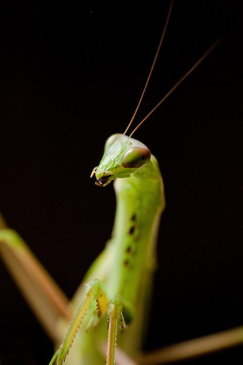 Praying mantis in Tanzania