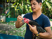 09 MARCH 2016 - BANGKOK, THAILAND:  A man who owns a fighting cock puts a tiny muzzle on the bird before putting it in a training bout in the Pom Mahakan community in Bangkok. The muzzle was to prevent the bird from injuring his opponent with his beak. The community of about 50 families was once known as the cockfighting center of Bangkok. Gambling is now prohibited by the military government and cockfighting is not as popular as it once was. Cockfights are still staged in clandestine pits in Bangkok but outside of Bangkok cockfights are common.   PHOTO BY JACK KURTZ