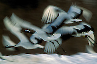 Red-crowned Cranes flying, Hokkaido, Japan.Endangered Species (IUCN Red List: EN)