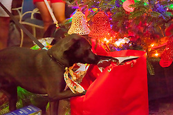 Brees takes a closer look at goodies left under the tree.  Christmas Tree Lighting and Seasonal Fundraiser for the Humane Society of St. Thomas.  St. Thomas, USVI.  11 De© Aisha-Zakiya Boyd