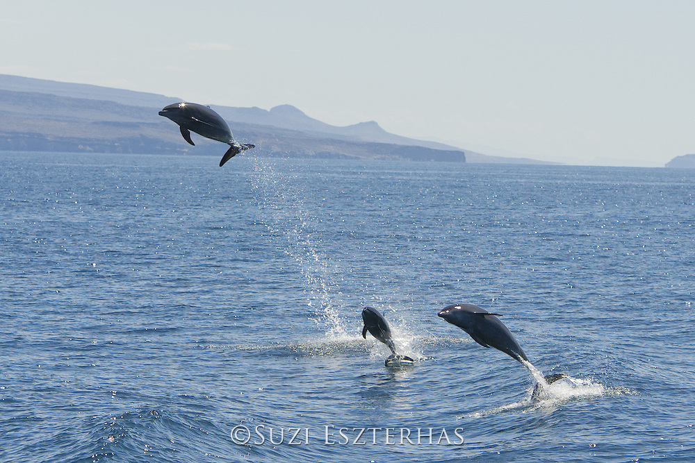 Bottlenose Dolphin<br /> Tursiops truncates<br /> Baja California, Mexico
