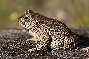Natterjack Toad (Bufo calamita)<br /> Sierra de Andújar Natural Park, Mediterranean woodland of Sierra Morena, north east Jaén Province, Andalusia. SPAIN<br /> RANGE: w & central Europe e to Russia & UK & Ireland.<br /> <br /> Mission: Iberian Lynx, May 2009<br /> © Pete Oxford / Wild Wonders of Europe<br /> Zaldumbide #506 y Toledo<br /> La Floresta, Quito. ECUADOR<br /> South America<br /> Tel: 593-2-2226958<br /> e-mail: pete@peteoxford.com<br /> www.peteoxford.com