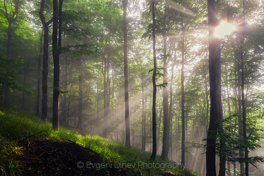 Sunbeams in the spring forest at sunrise