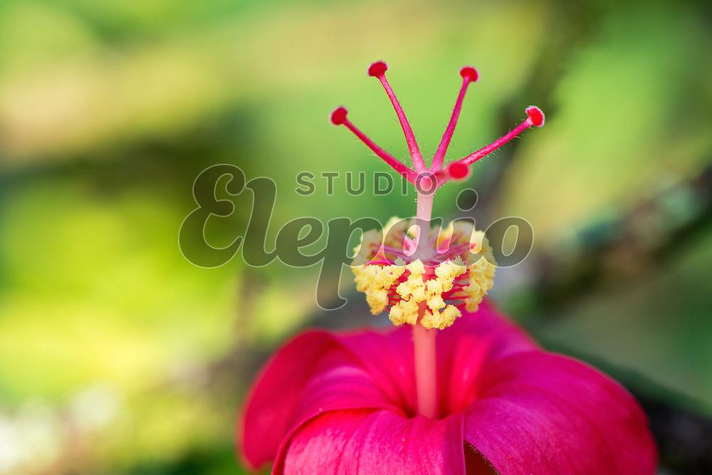 Hawaiian red hibiscus, or kokio ula in Hawaiian (Hibiscus kokio).