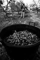 02/12/2010 Acquaviva delle Fonti, bidone in plastica pieno di olive...La raccolta delle olive e la produzione dell'olio extravergine sono un rituale che si protrae da moltissimo tempo in Puglia, questo avviene solitamente nel periodo che va da novembre a dicembre, mentre il lavoro di preparazione e coltivazione si svolge lungo tutto l'arco dell'anno..La raccolta è seguita nella maggior parte dei casi, quando le olive non vengono vendute all'ingrosso, dalla molitura presso gli oleifici per la produzione di quello che da queste parti viene chiamato anche oro verde..