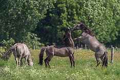 Konikpaarden in het waterwingebied De Rug 2012