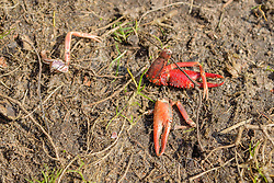 Rode rivierkreeft, Procambarus clarkii, resten, remains