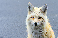 Red Fox with Copy Space