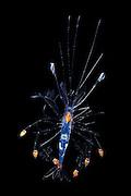 Mysis larva of a sergestid shrimp (Decapoda) Sargasso Sea, Bermuda
