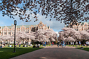"Cherry trees flower in early April at Miller and Smith Halls on UW campus in Seattle, Washington, USA. The Yoshino cherry trees on ""the Quad"" (Liberal Arts Quadrangle) of the University of Washington were a senior gift from the class of 1959. The trees were rescued from a construction site for the Evergreen Point Floating Bridge and moved to campus in 1964."