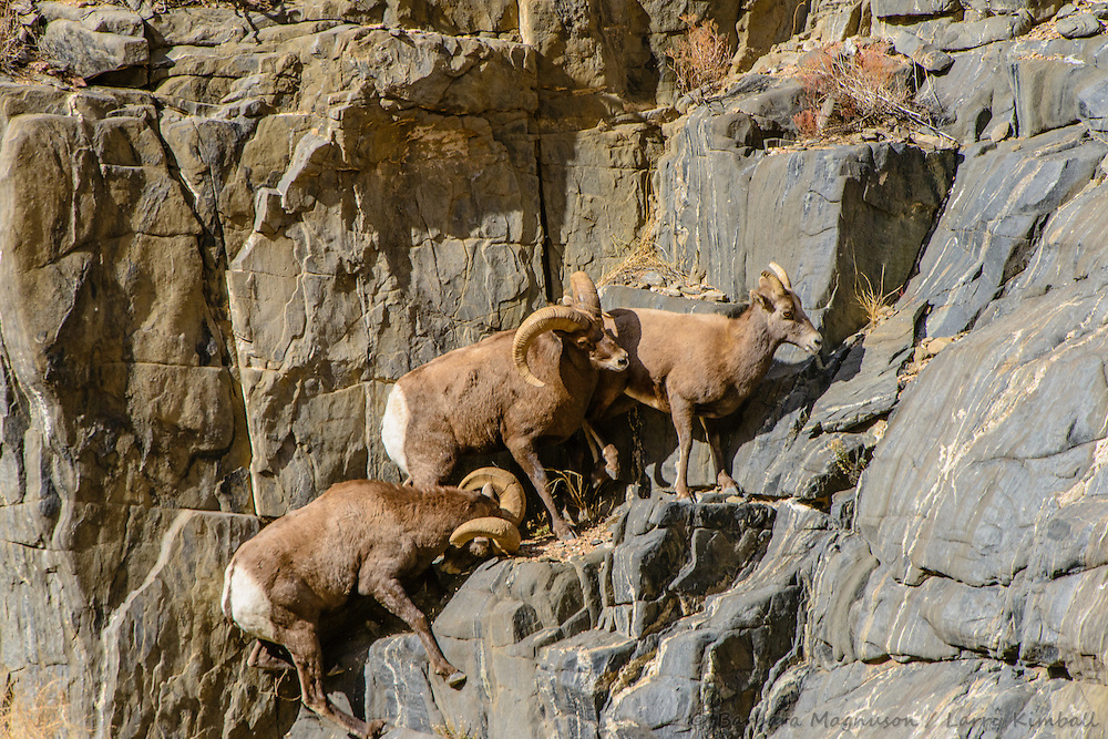 Rocky Mt. Bighorn Sheep [Ovis canadensis] rams battling over ewe during rutting season; Bighorn Sheep Canyon, Arkansas River, Colorado