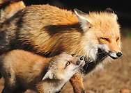 Once feeding time is over, it's time to play for this red fox kit and his father, a long-time resident near the East Entrance of Yellowstone Park.