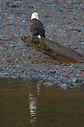 An adult bald eagle (Haliaeetus leucocephalus) sits on a log at the edge of the Squamish River in Brackendale, British Columbia, Canada.