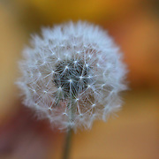 """""""Puff""""<br /> <br /> Ahhh, the beauty of a Dandelion puff ball!! So delicate, and so soft, nestled among autumn leaves!!<br /> <br /> Nature of this World by Rachel Cohen"""