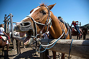 Horses at the Triangle X Ranch, in Grand Teton National Park, Wyoming, August 10, 2014. <br /> Photo by David Lienemann<br /> david.lienemann@gmail.com