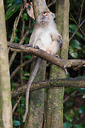 Long-tailed or crab-eating Macaque (Macaca fascicularis) by Kinabatangan River, Sabah