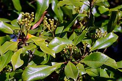 27.07.2014, Bali, IDN, Natur und Sehenswuerdigkeiten in Indonesien, im Bild Nelken, Gewuerznelken an einem Gewuerznelken-Baum (Syzygium aromaticum) am Rande der Strasse, Bali, Indonesien. EXPA Pictures © 2014, PhotoCredit: EXPA/ Eibner-Pressefoto/ Schulz<br /> <br /> *****ATTENTION - OUT of GER*****