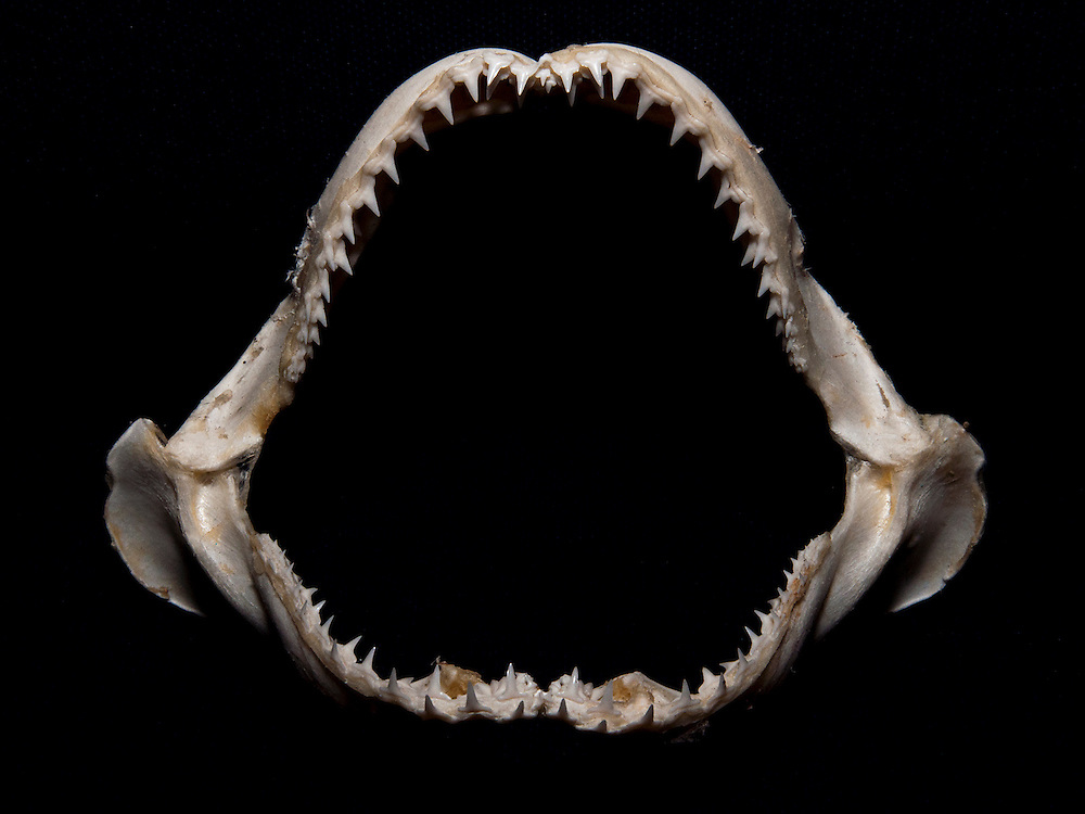 The jaws of a lemon shark are designed to eat fish. The bottom teeth are skinny and pointy to grip the thrashing fish while the top teeth are serrated and efficient at cutting flesh. Lemon sharks depend on mangroves for the survival of the first 5-8 years of their lives. Mangroves are disappearing throughout the world and the fate of the lemon shark is left in the balance. We need to get proper protections for the world's mangroves and then enforce them.