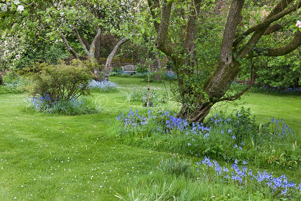 Each of the old apple trees in the orchard is a different varity.  Bluebells grow beneath them in Spring.
