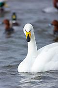 Whooper Swan, Cygnus cygnus close up at Welney Wetland Centre, Norfolk, UK